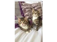 Gorgeous pair of tiger tabby kitten. Both girls and 10 weeks old.