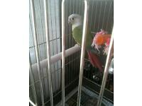 RECUCED TO £100 ono . 7mths old pineapple conure with montanna cage