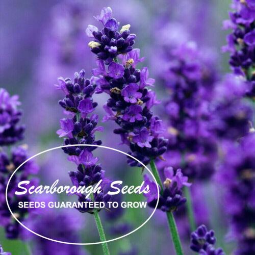 Scarborough Seeds 500 Lavender Seeds HERB NON-GMO MOSQUITO REPELLENT USA!