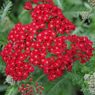 Red Yarrow Seeds, Rubra, Easy Grow Perennial, Herb Flower, Butterflies ()