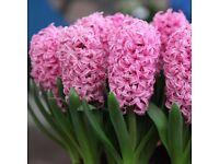 Hyacinthus Orientalis pink Flower Bulb
