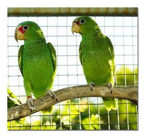 White Fronted Amazons – young Ingle Farm Salisbury Area Preview