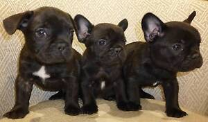 French Bulldog Puppies for sell. Penfield Playford Area Preview