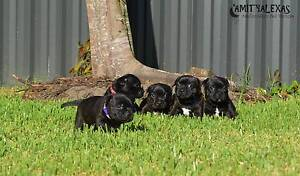 Pedigree Staffordshire Bull Terrier Pups (English Staffy Pups) Bellara Caboolture Area Preview
