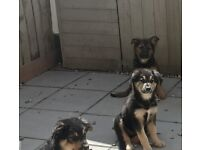 Lovely shollie puppies