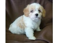cavachon puppies for sale beautiful girls and boys peach and brindle colours