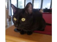 Extremely loving 9-month old Black Kitten with passport, vaccines, chipped and spayed