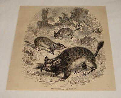 1876 magazine engraving ~ THE CHINCHILLA
