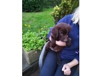 Female Chocolate Labrador Puppy