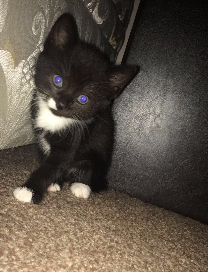 *QuickSale* 1 black & white kitten female