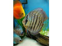Discus fish, 4ft juwel tank and stand