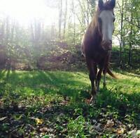 Very sweet willing 13 yr. old APHA mare out of Mr.Norfleet
