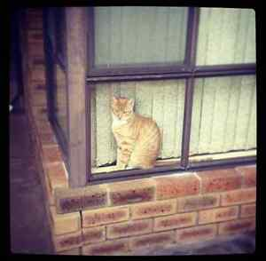 Missing Ginger Male Cat in Alexander Heights Alexander Heights Wanneroo Area Preview