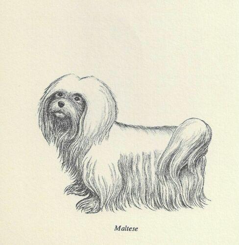 Maltese - 1964 F.W. Davis Vintage Dog Print - Matted