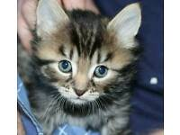 Most adorable ever Xbengal kitten looking for a loving home