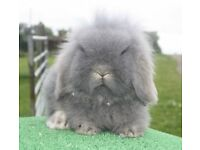 Beautiful baby lionlop for sale.. Ready Now!