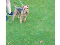 Lake land terrier