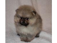 Super fluffy Teddy Bear Pomeranian Puppies Boys and Girls