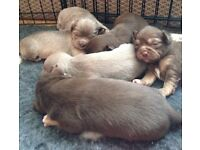 Lilac, Lavender, Blue and Chocolate KC Stunning Chihuahua Puppies