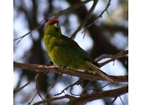 LOST make green kakariki parakeet