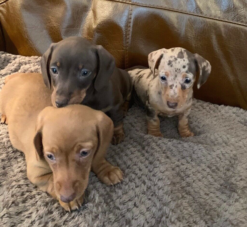 Miniature Dachshund Puppies For Sale In Southampton Hampshire