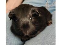 Solo Female baby guinea pig