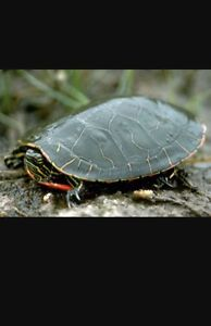 IOS looking for a red eared slider
