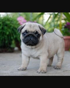 LOOKING FOR PUG PUPPY