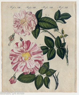 Rosen-Rose-Blume-Botanik - Bertuch Kupferstich 1800 Monatsrose-Bandrose