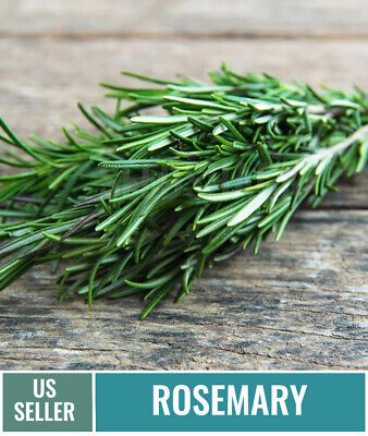 50 + Rosemary Seeds | Fresh Perennial Herb Heirloom Seeds | NON-GMO