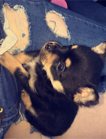Tiny Tri colour Chihuahua female