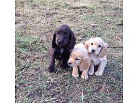 Full Pedigree Cocker Spaniel Puppies