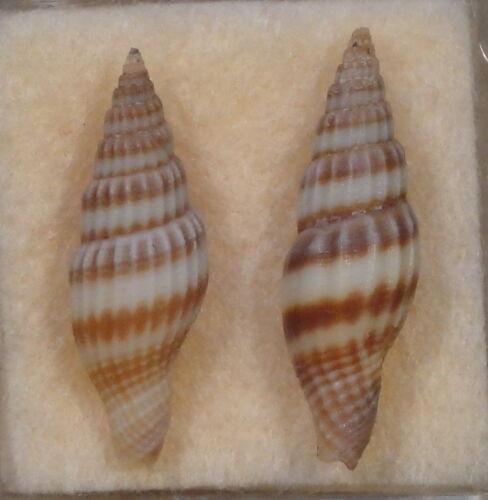 Mitra Vexillum Curviliratum 2 Shells 23+24mm Bosilan Island,Philippines 70 meter