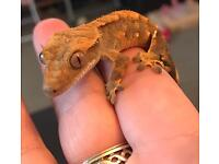 Baby crested gecko with starter set up
