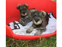 Lovely Miniature Schnauzer girl puppies - now sold sorry