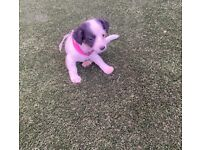 MINIATURE JACK RUSSELL FEMALE PUPPY READY TO LEAVE NOW