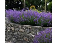 Lavender plants flowers shrubs