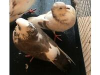 A pair of young doves/ pigeons
