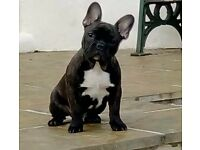 K.c French bulldog for sale