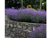 Massive Bush lavender 5 year old Shrub shrubs garden plant plant flower flowers