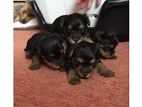 Yorkshire puppies born on 25/05/2017 would be ready to go in 2 week time