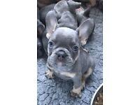 French bulldog puppies lilac & tan