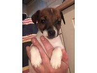 Jack Russell dog puppy