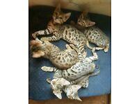 Beautiful Purebred Bengal Kittens