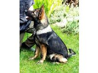 PURE GERMAN SHEPHERD FEMALE STRAIT BACK