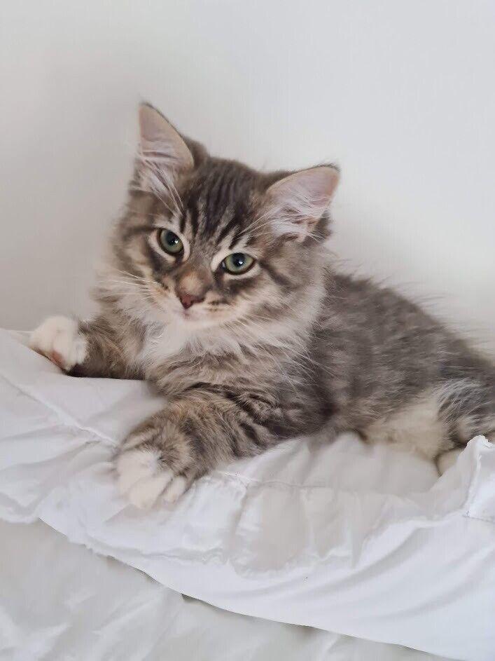 Beautiful Siberian Kittens For Sale In Mill Hill London Gumtree