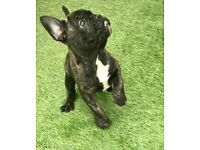 French bulldog male puppy