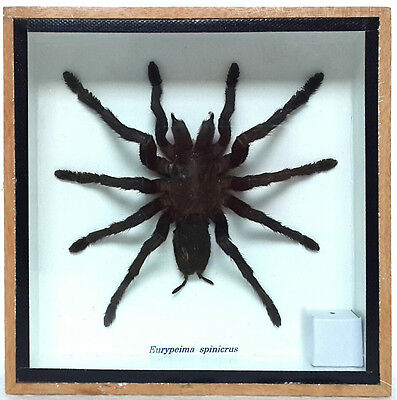 Real Bird Eating Tarantula Spider Mounted Display Taxidermy Entomology Zoology