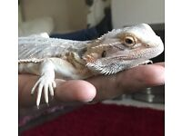 Wicked Bearded Dragons