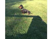 Miniature dachshund KC reg PRA clear